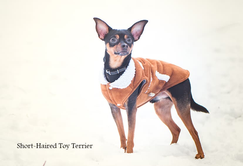 A Toy Terrier in Winter Coat